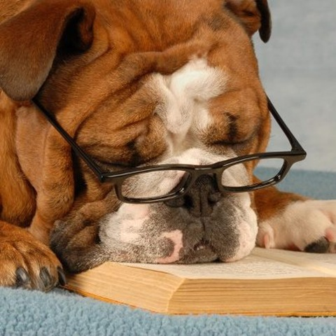BITW Bulldog with Glasses Reading